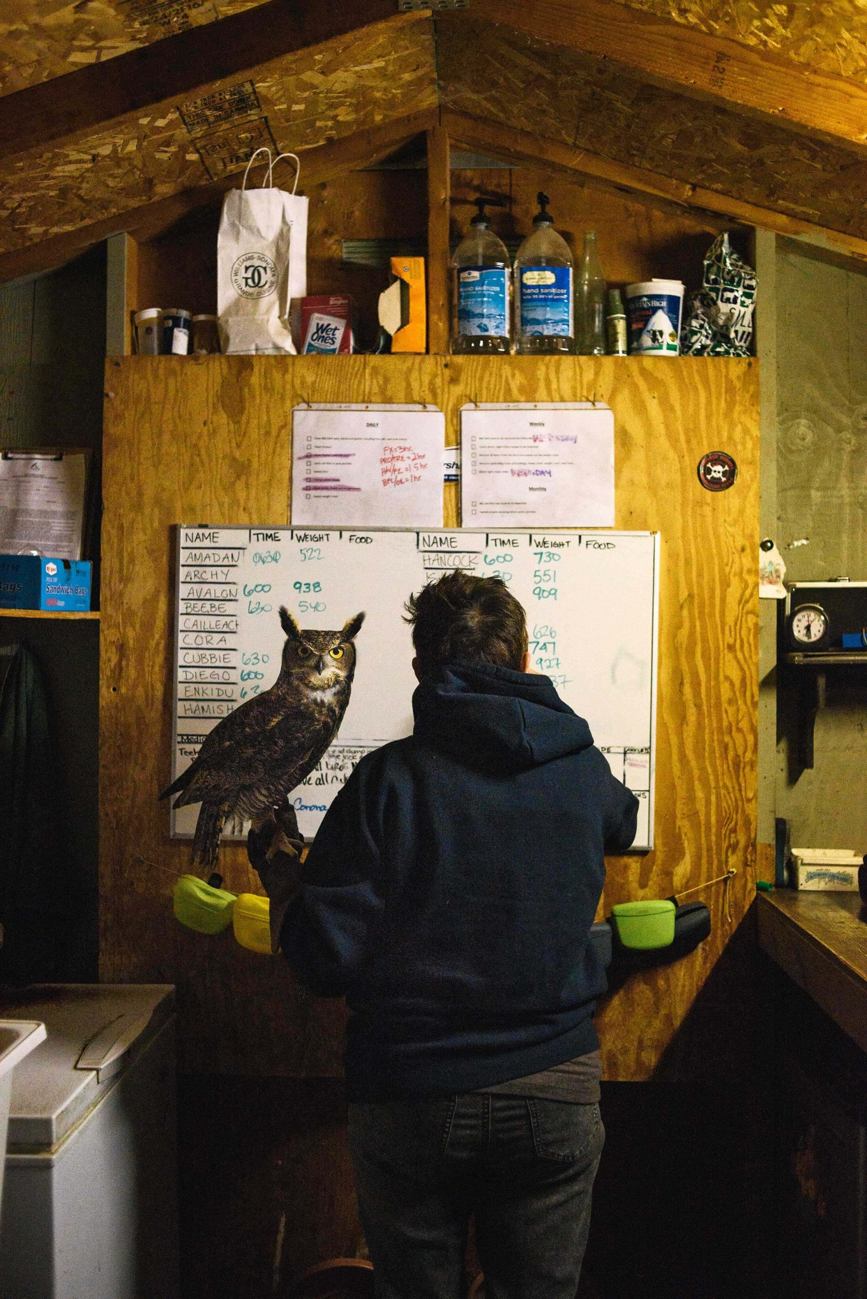 Marden weighs Tigg'RR, a male great horned owl. Weighing the birds is one of the first things that happens in the morning at West Coast Falconry.